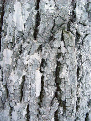 white painted bark 01 by synesthesea