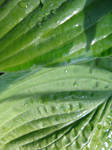 hosta leaves wet by synesthesea