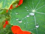 nasturtium raindrops 2