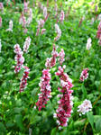 flowering magenta field by synesthesea