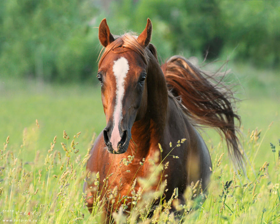 arabian horse Eksel by Vikarus on DeviantArt