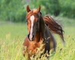 arabian horse Eksel