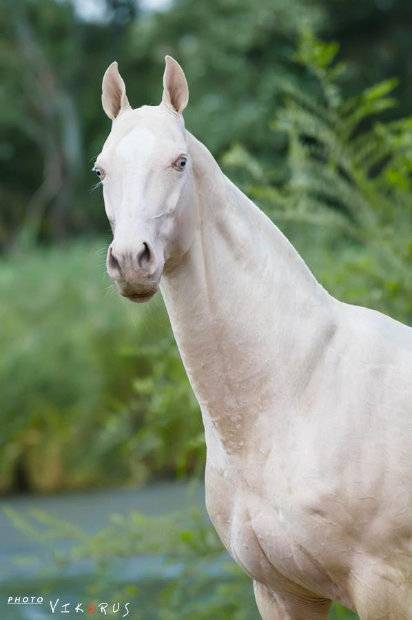 isabella horse portrait by Vikarus