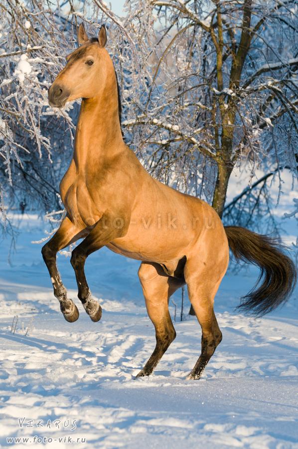 Golden akhal-teke stallion by Vikarus