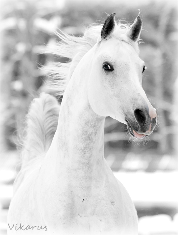 White arabian by Vikarus