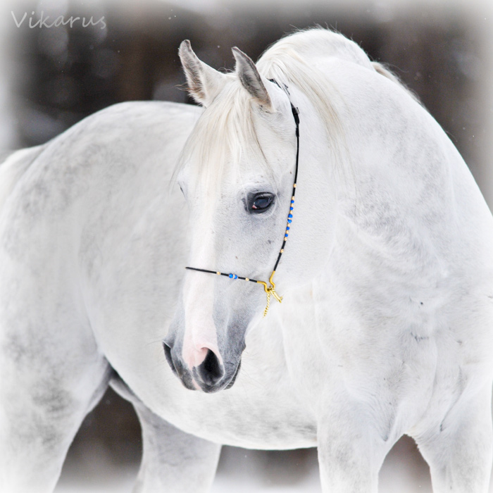 White arabian 2 by Vikarus