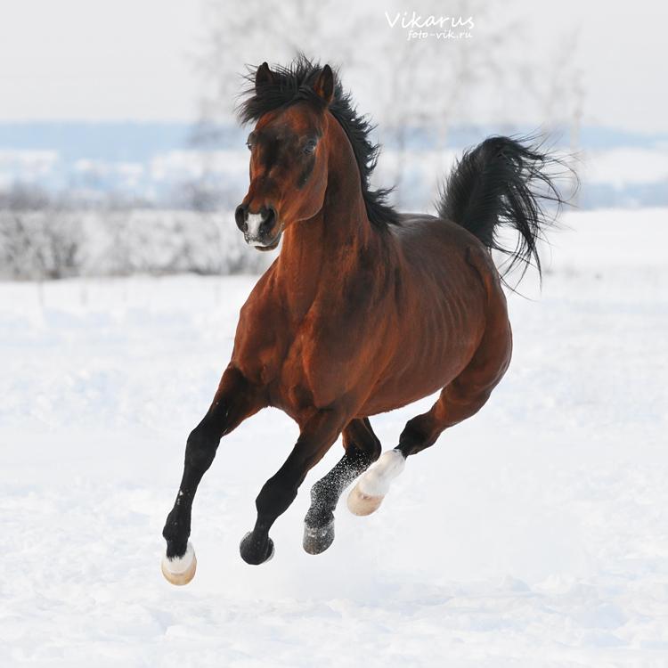 Crown War || Inscripciones Personajes Secundarios Bay_horse__winter_2011_by_vikarus-d3agkhn