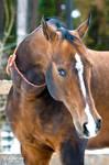 akhal-teke stallion
