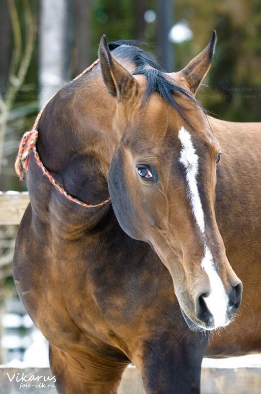 akhal-teke stallion by Vikarus