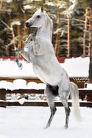 White stallion Kollizey by Vikarus