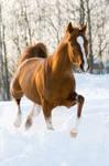 arabian horse Eksel 2