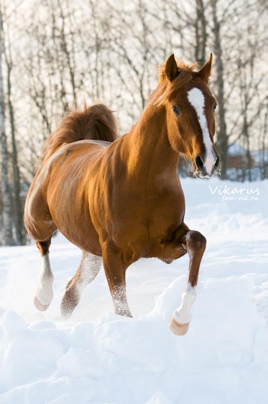 arabian horse Eksel 2 by Vikarus