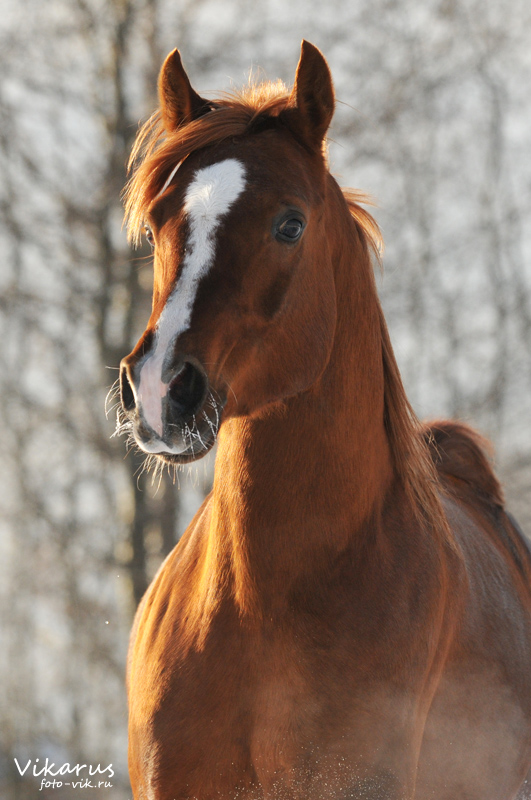arabian horse Eksel 3 by Vikarus