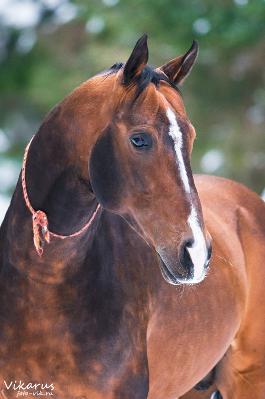 Portrait of akhal-teke by Vikarus