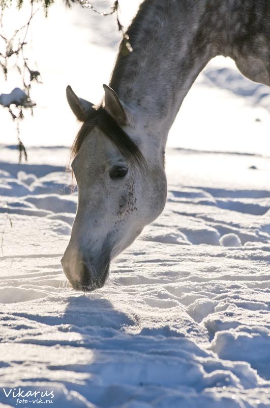 Arabian mare by Vikarus