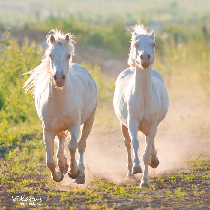 two cremello Welsh ponies by Vikarus