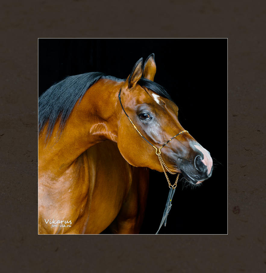 Arabian mare on the black by Vikarus