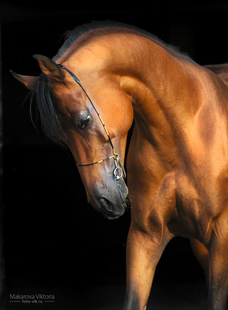 Angleter from Tersk studfarm 2 by Vikarus