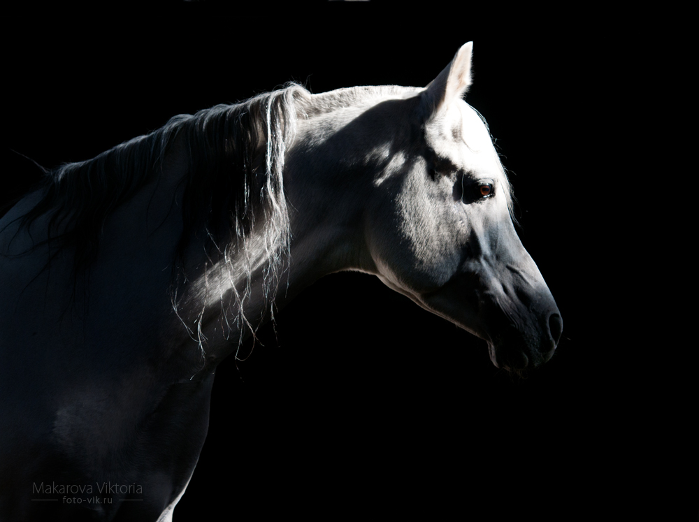Ficha de Riley. Arabian_stallion_sirdar_by_vikarus-d4hkwxo