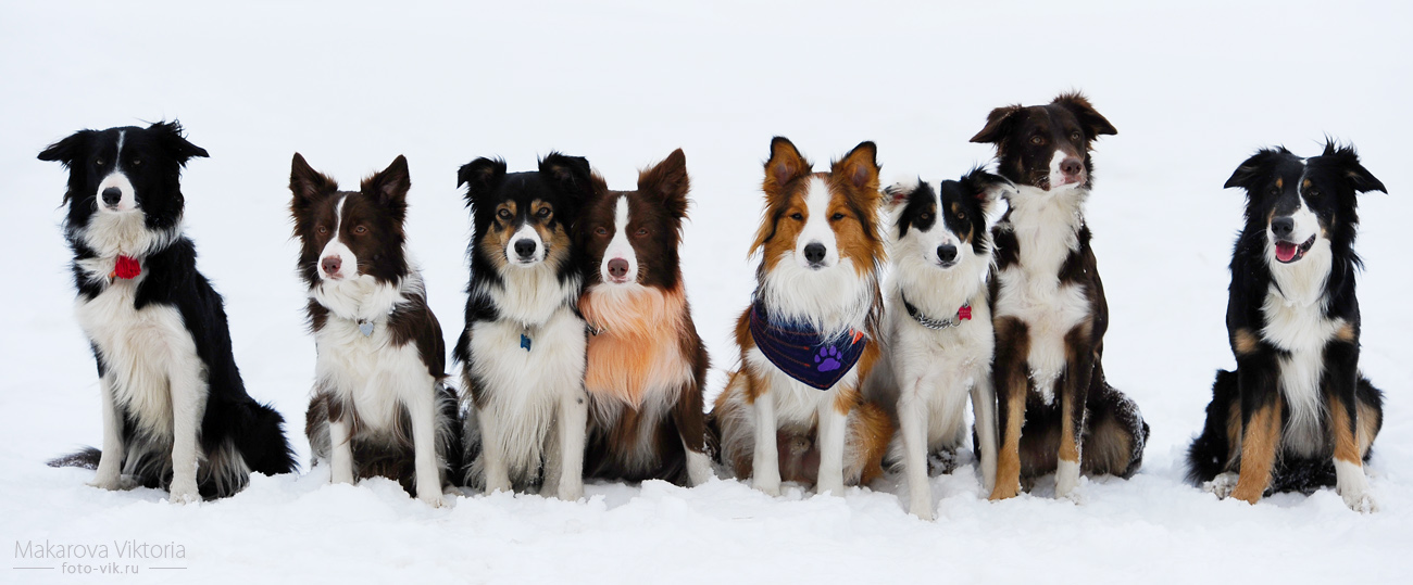 http://fc08.deviantart.net/fs70/f/2012/064/2/5/border_collies_only_by_vikarus-d4rspvx.jpg