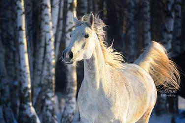 Russian winter and Arabian horse