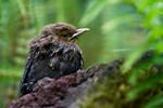 Little blackbird. by Anoya