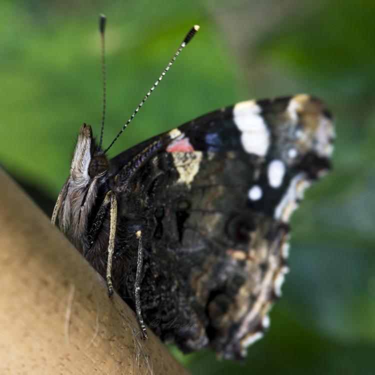 Papillon. by Anoya