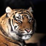 Angry Tiger.