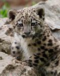 Snow Leopard Cub 01