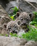 Snow Leopard Cubs 01
