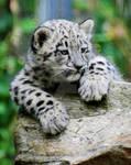 Snow Leopard Cub 07