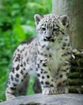 Snow Leopard Cub 08