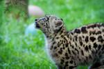 Snow Leopard Cub 09