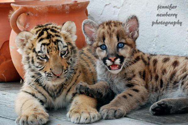 Tiger Cub and Geronimo 1