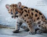 Geronimo the Cougar Cub 1