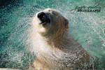 Polar Bear Whirlwind
