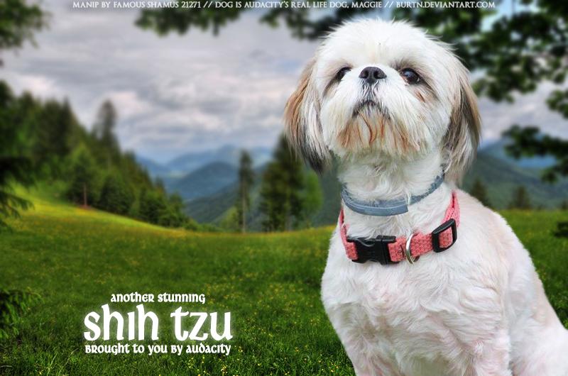 Audacity Shih Tzu by FamousShamus109