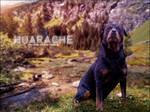 Huarache - rottie