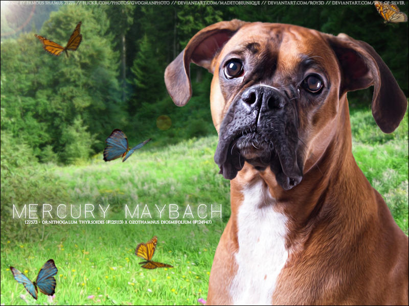 Carnival Boxer - Mercury Maybach