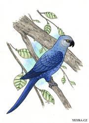 Spix's Macaw by yeyra