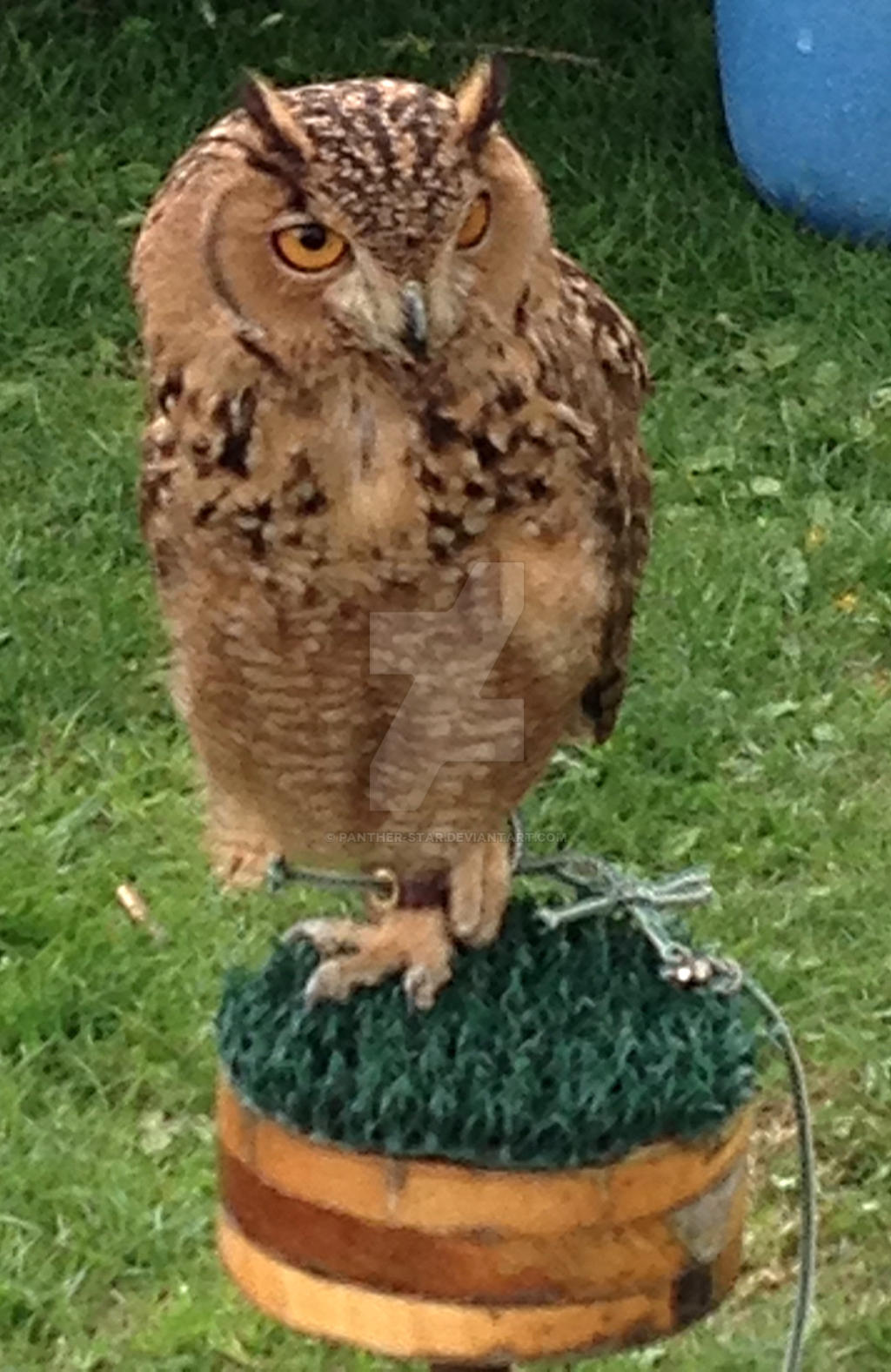 egyptian eagle owl by panther star on deviantart