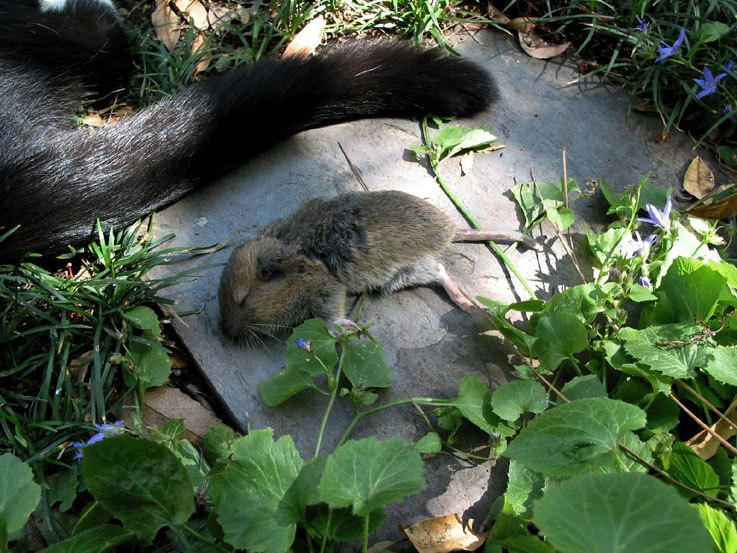 Vole by makepictures