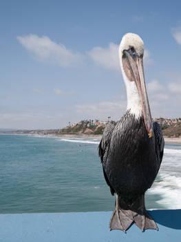September's Pelican