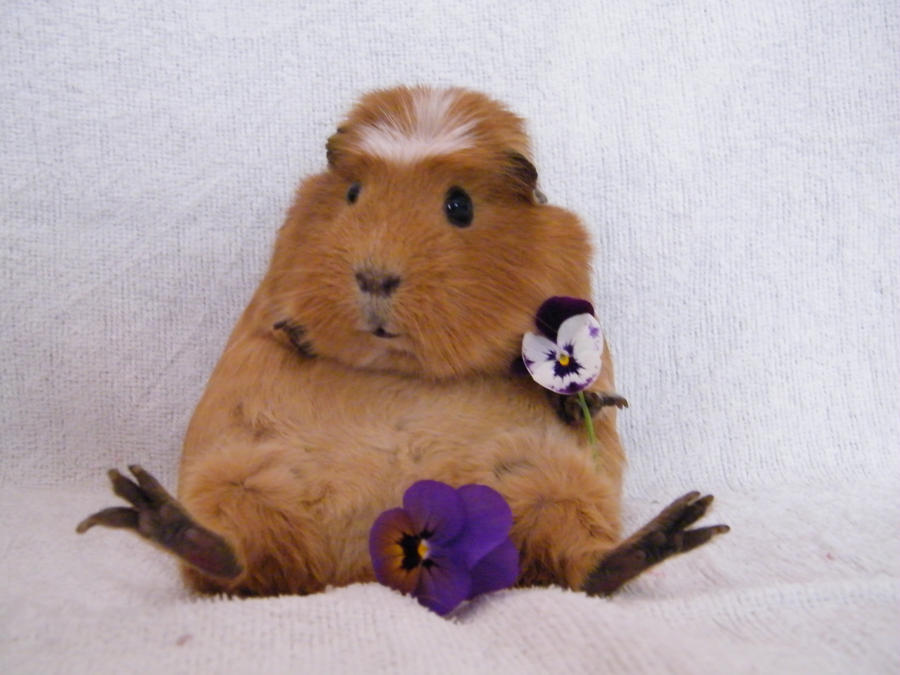 Guinea pig dating service — photo 6