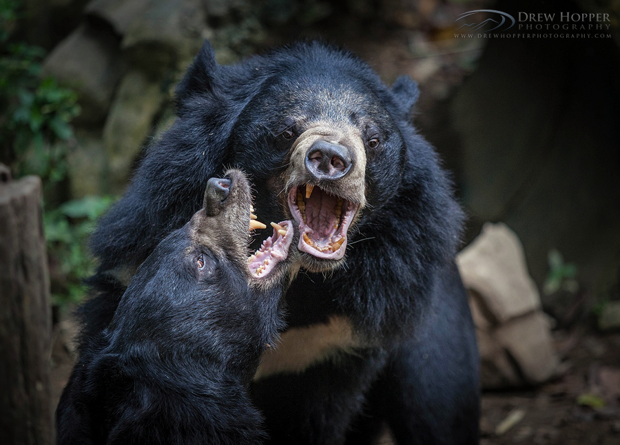 Sun Bears of Tat Kuang Si by DrewHopper