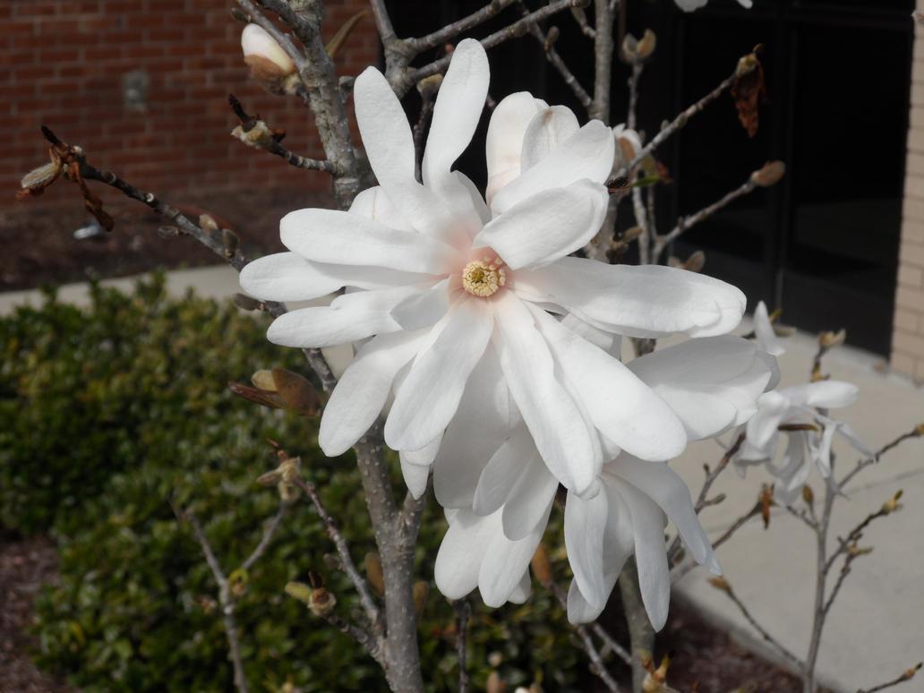White flower 2 by GothicRavenMidnight