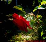 Rose of sorrows