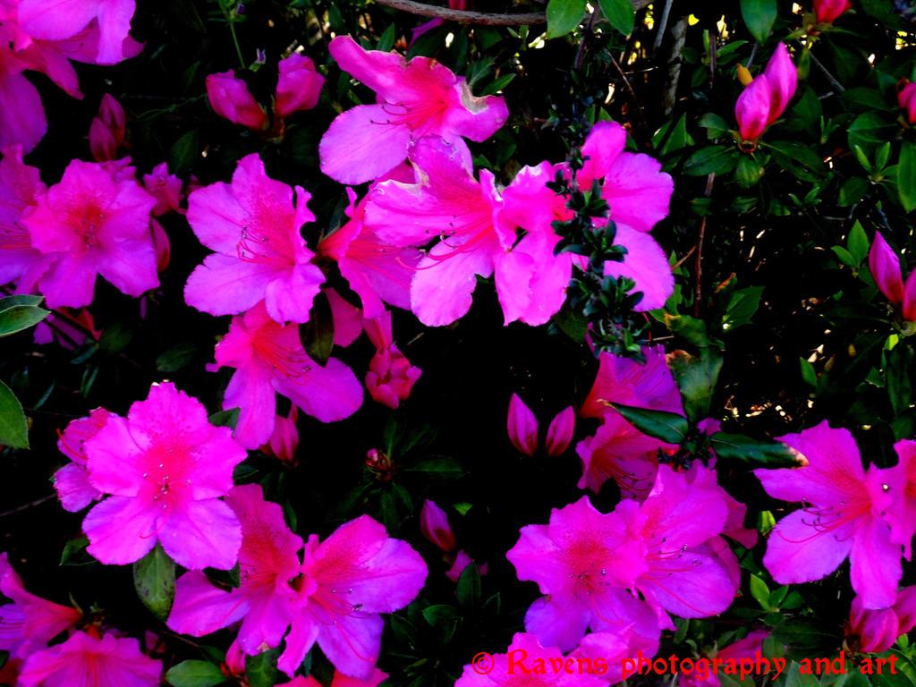 Azalea bush by GothicRavenMidnight