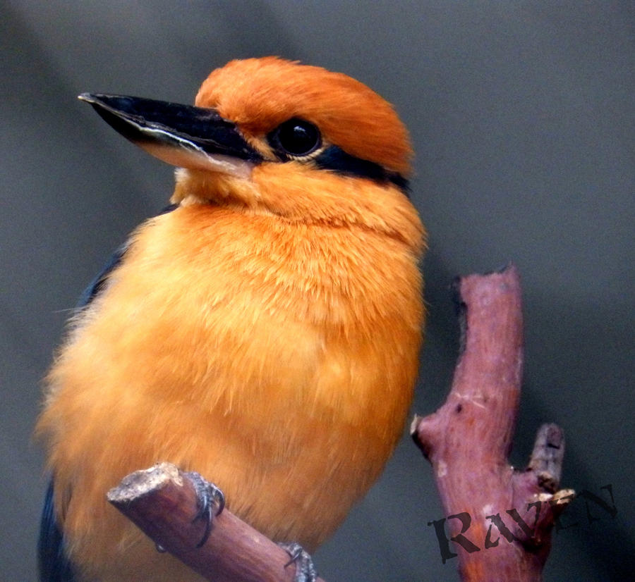 Micronesian Kingfisher by GothicRavenMidnight