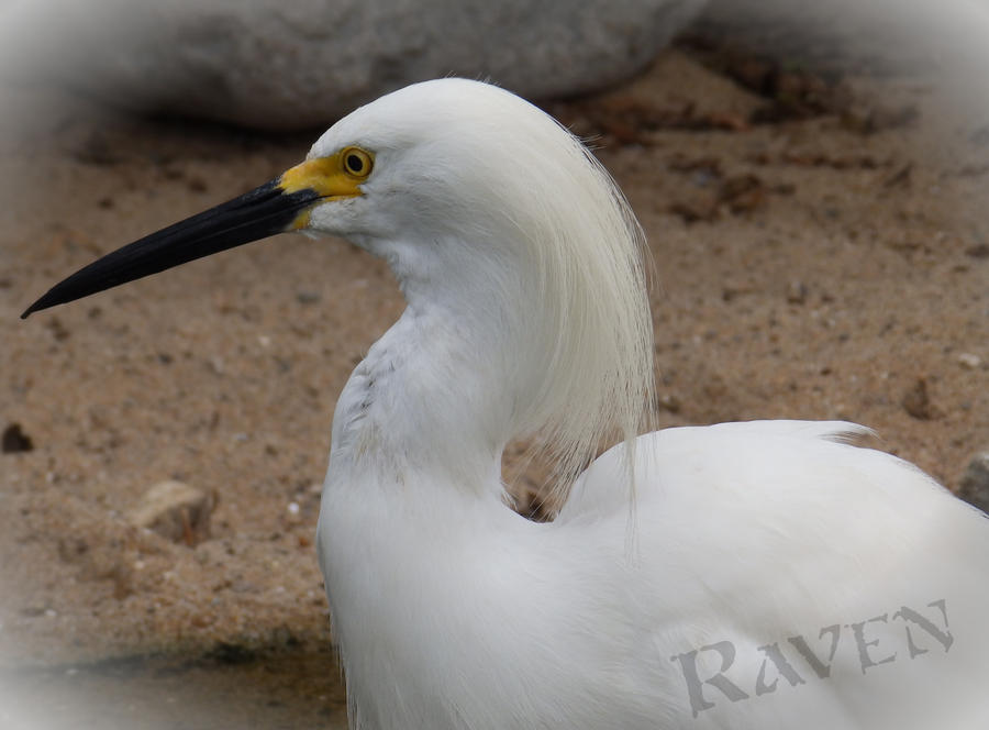 Snowy Egret by GothicRavenMidnight